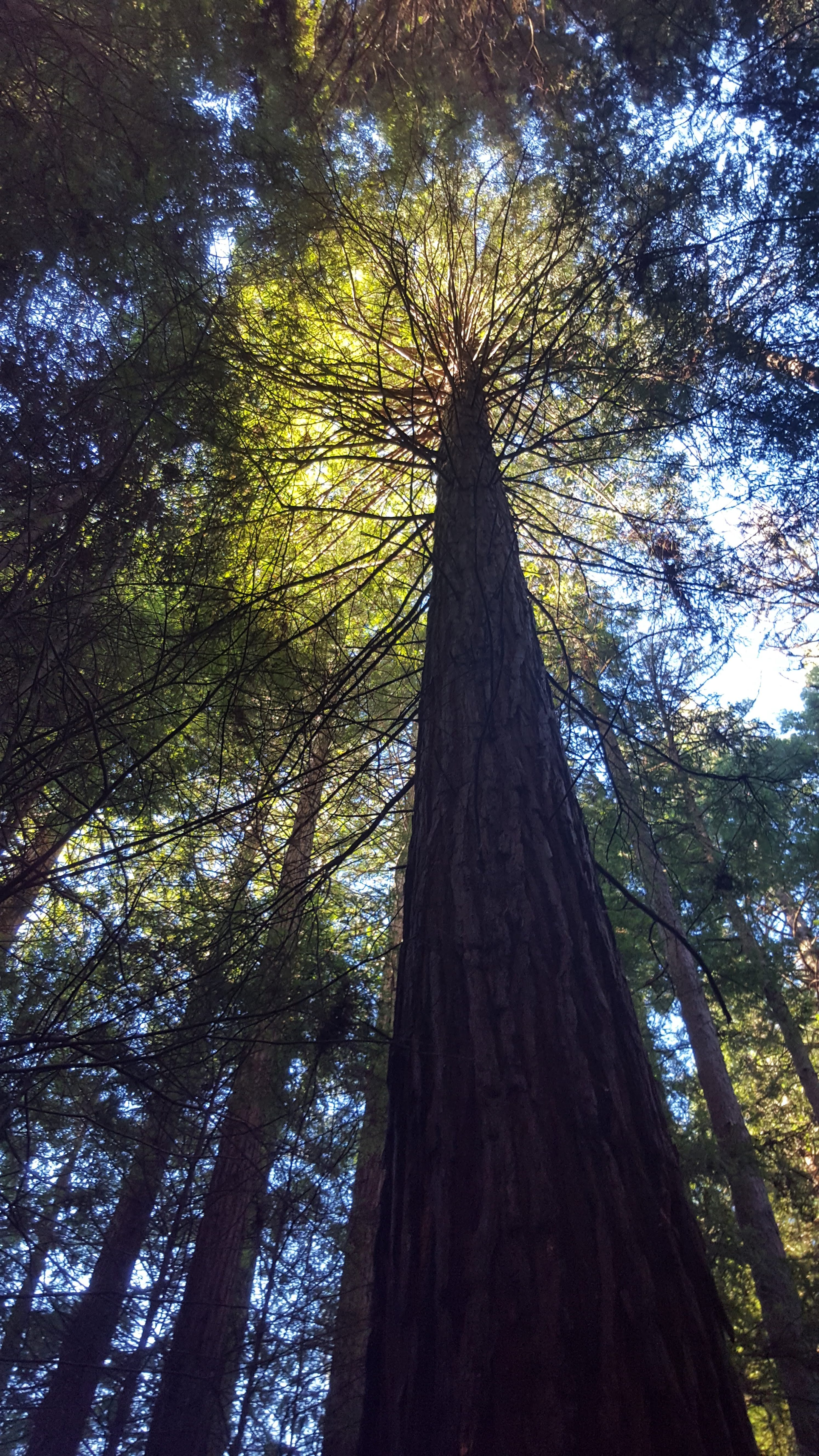 looking up the trunk of a redwood to it's canopy and the sky beyond
