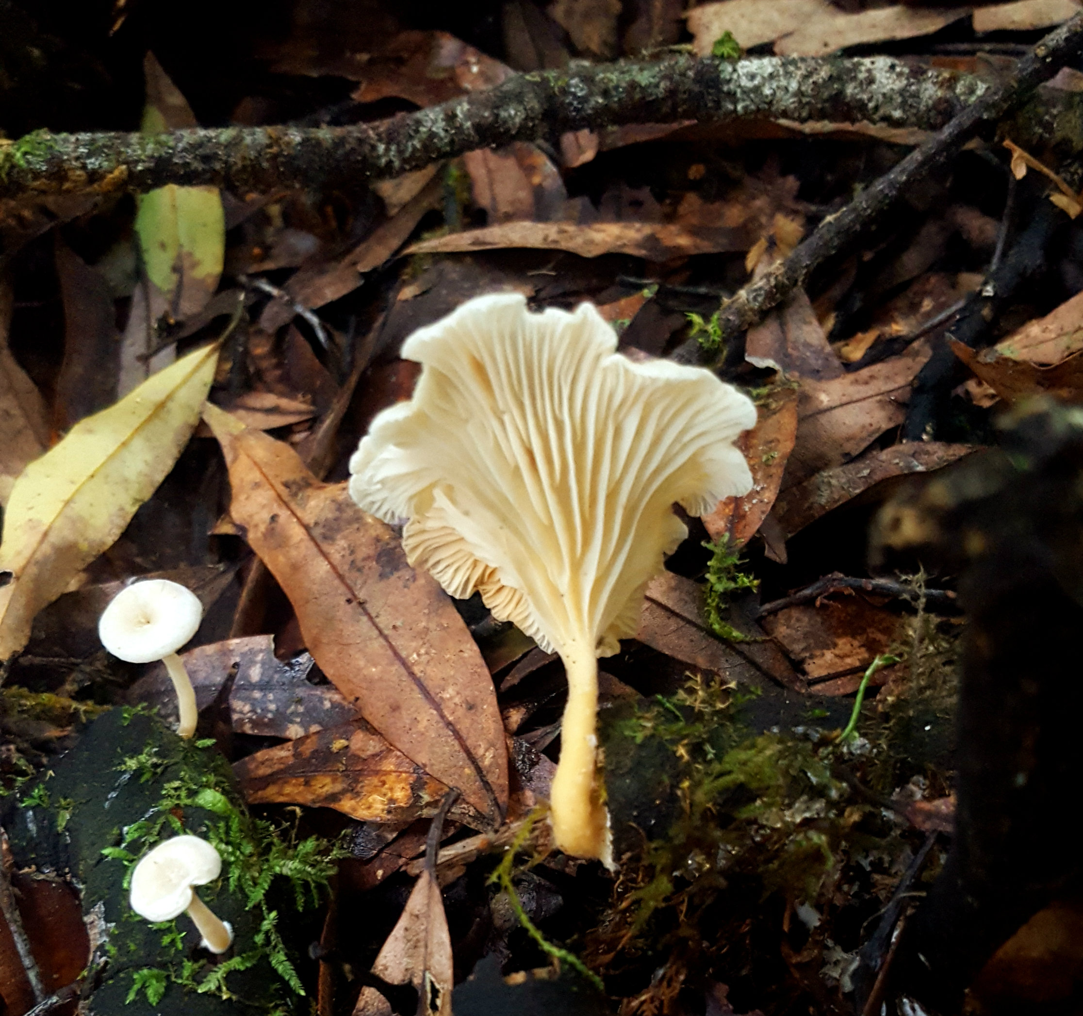 a white mushroom wuth frilly gills seen from below nestled amongst autumn leaves and three smaller mushrooms