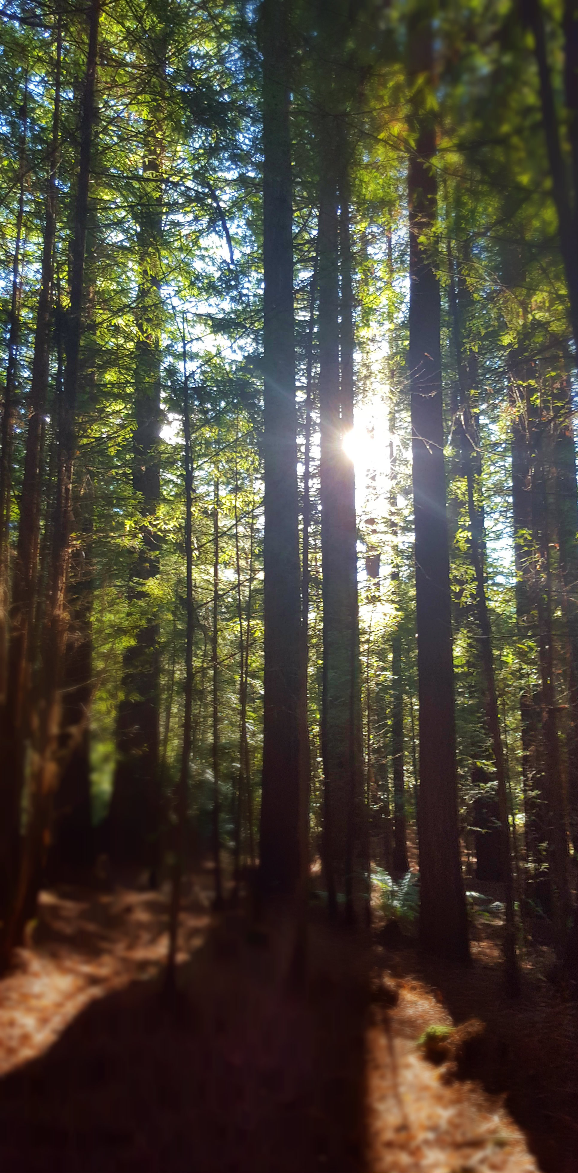 Redwood trees in forest, autumn sun shining through
