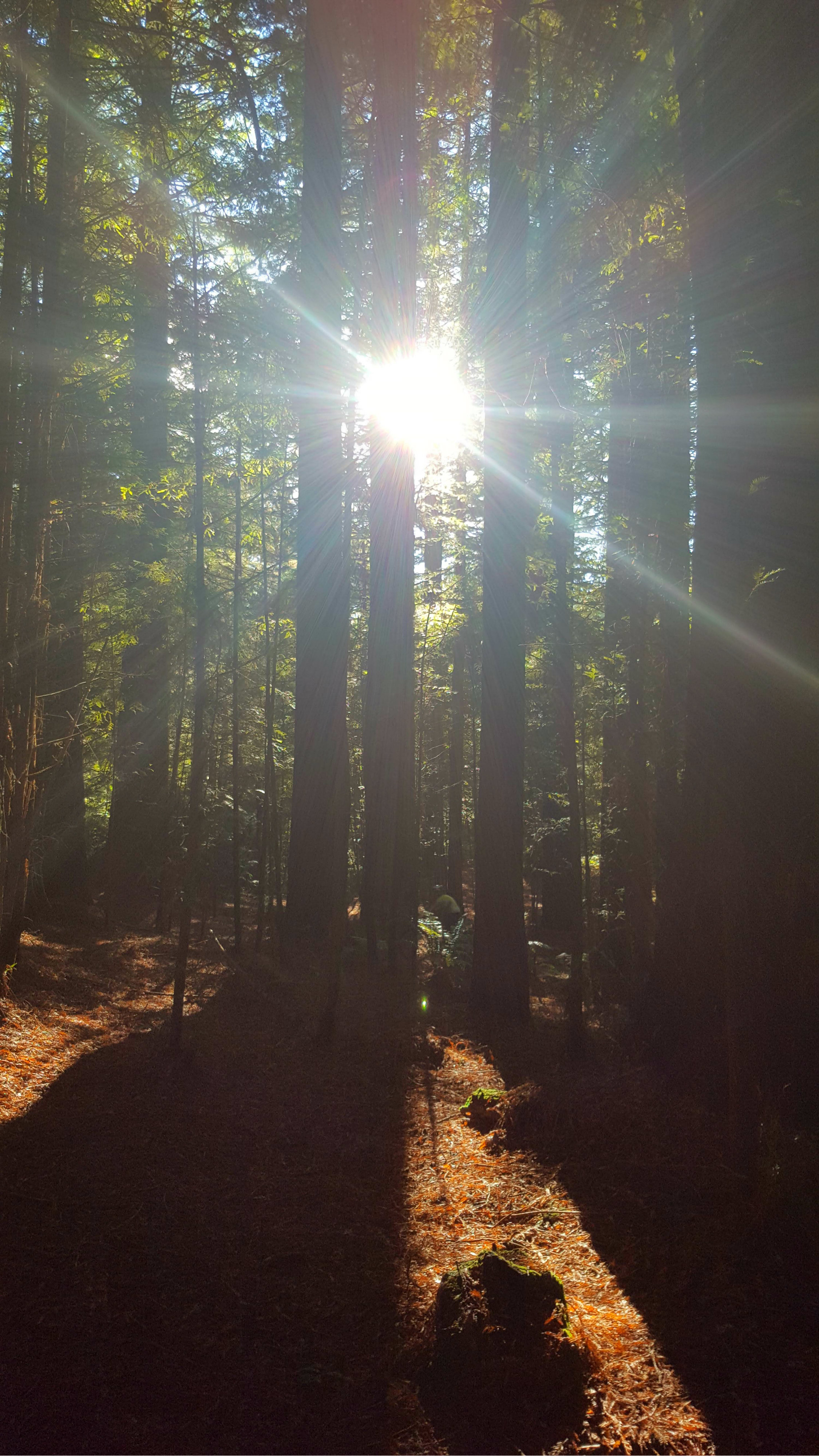 Tall Redwood trees with long shadows across leaf and bark strewn paths with sun shining through.
