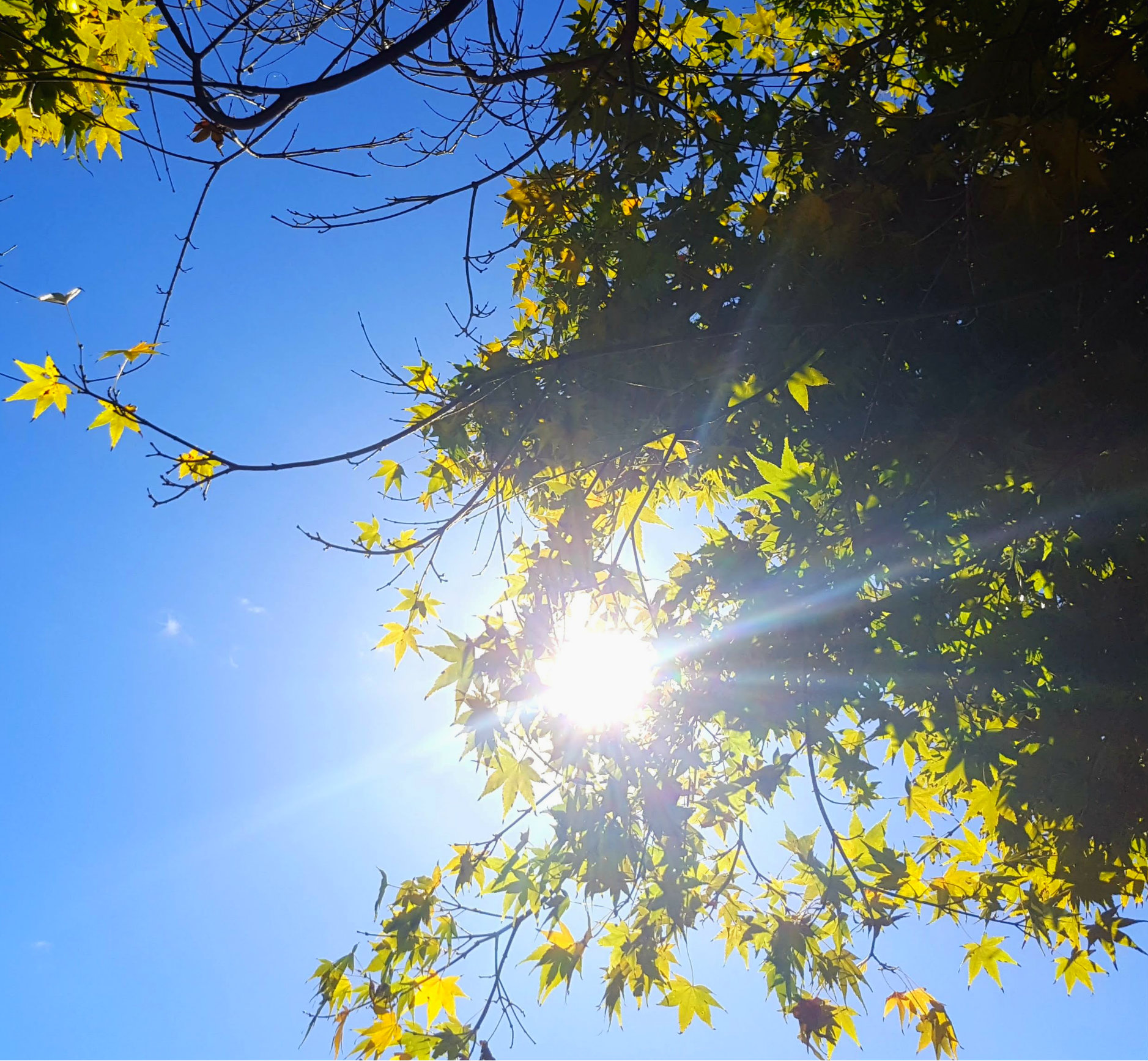 looking up at a blue sky and sun shining through bright green maple leaves