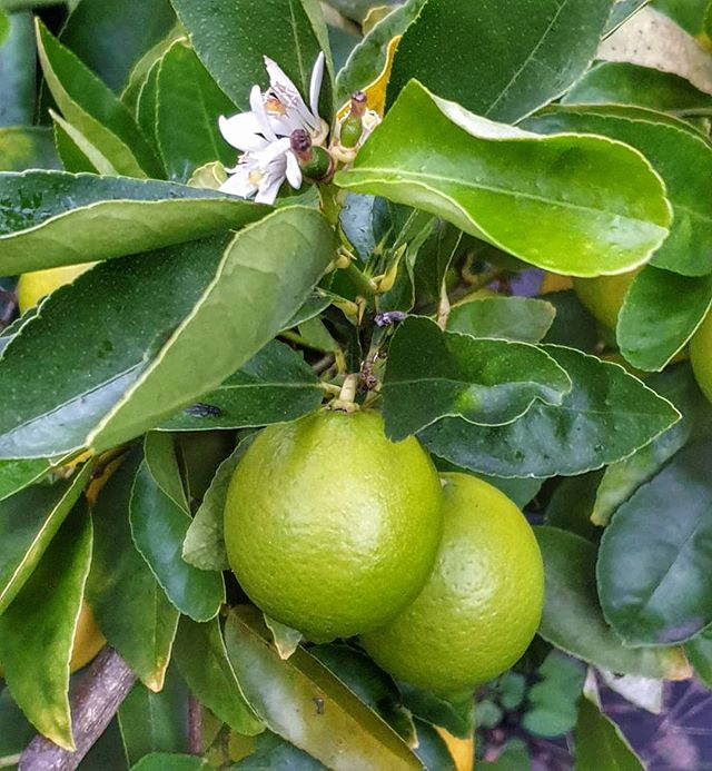 limes on a tree with blossom