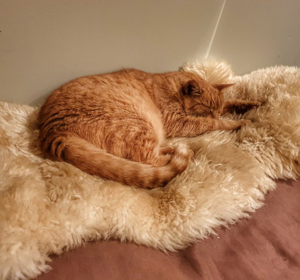 ginger cat sleeps on a sheepskin rug