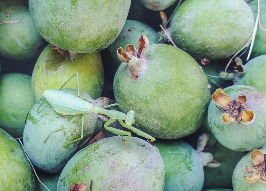 Praying Mantis camouflaged in feijoas