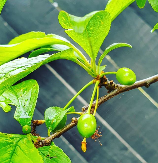 bright green leaves and the beginnings of fruit on a plum tree