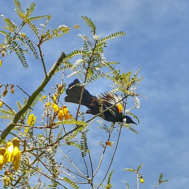 a black bird with a white feather at its neck takes nectar from a flower in a tree. Blue sky behind.