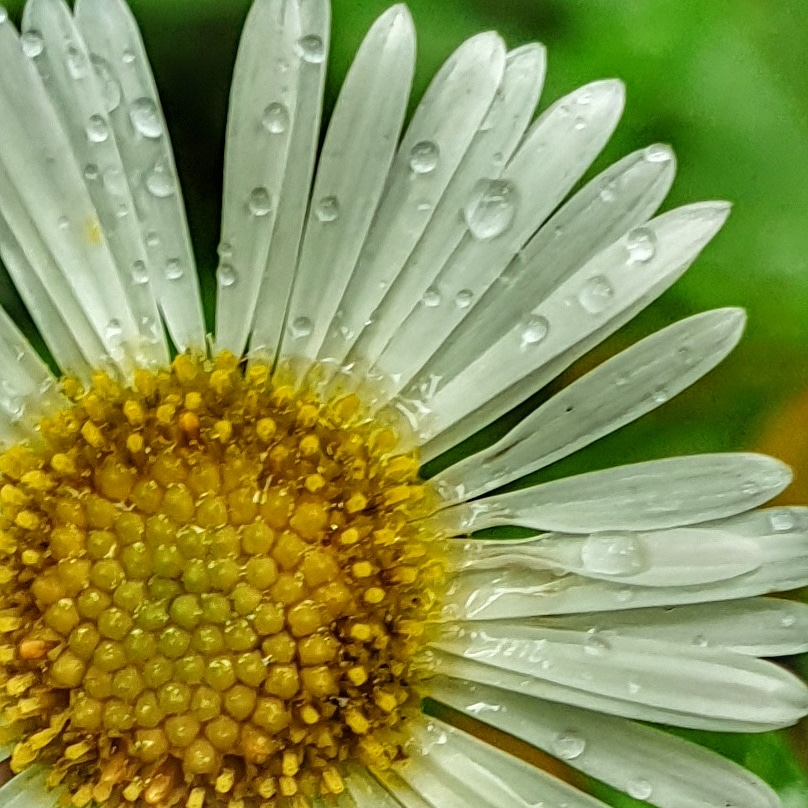 the yellow centre of a daisy and three quaters of its white petals spotted with raindrops