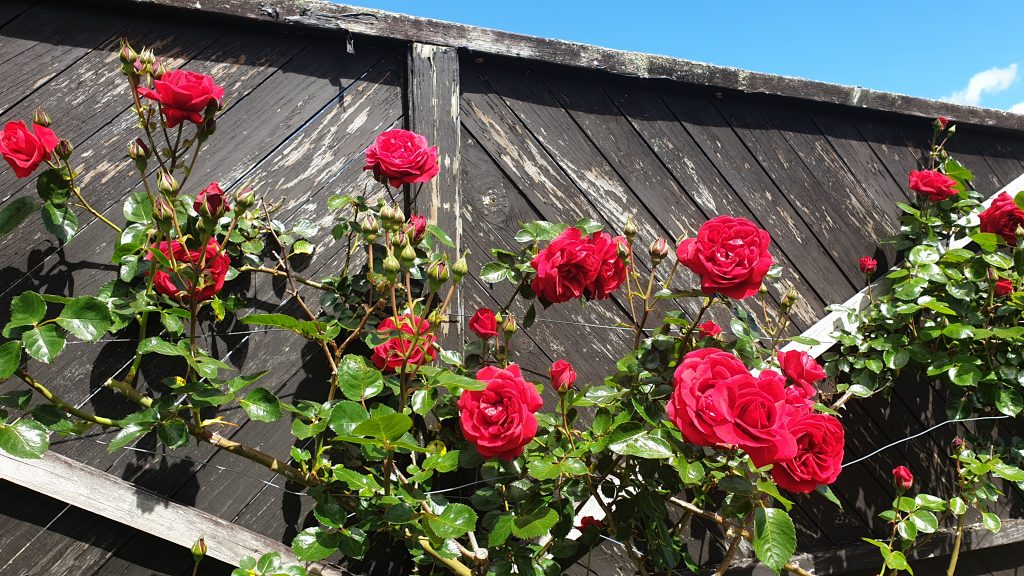 red roses against a black fence
