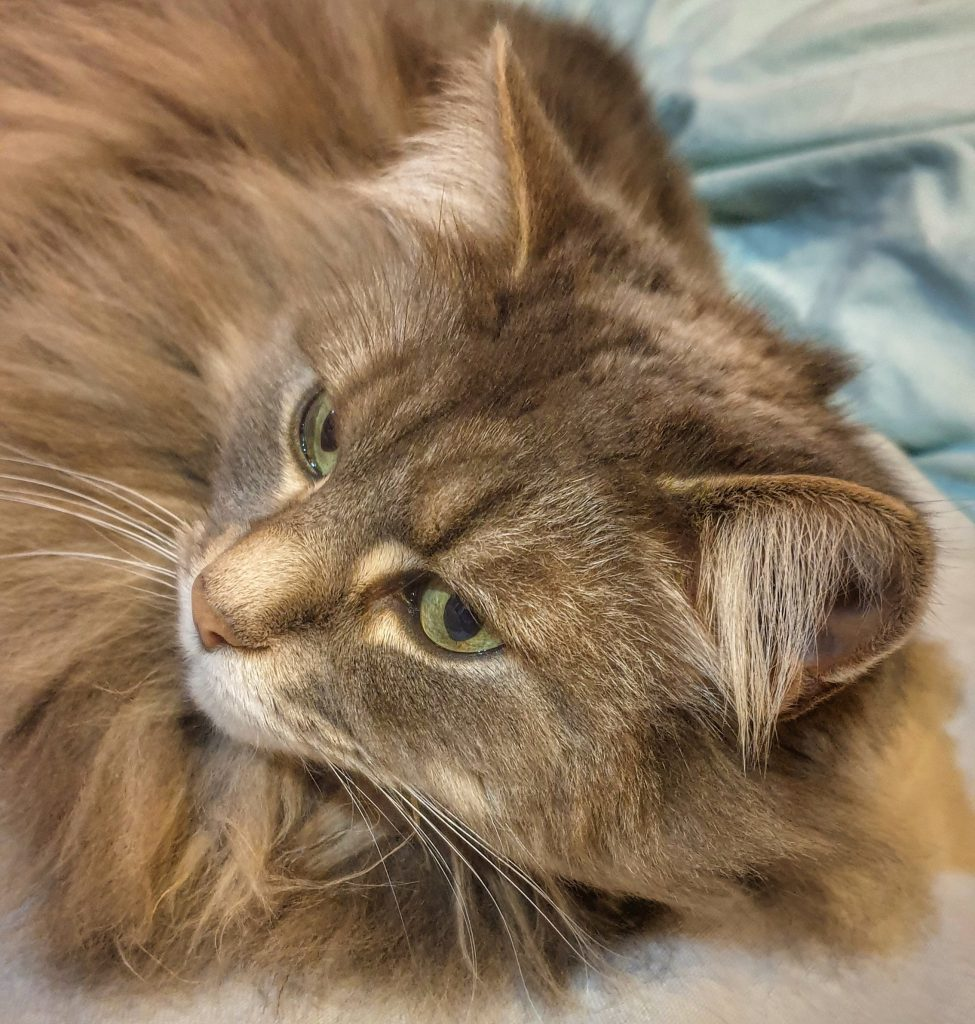 a longhaired grey cat