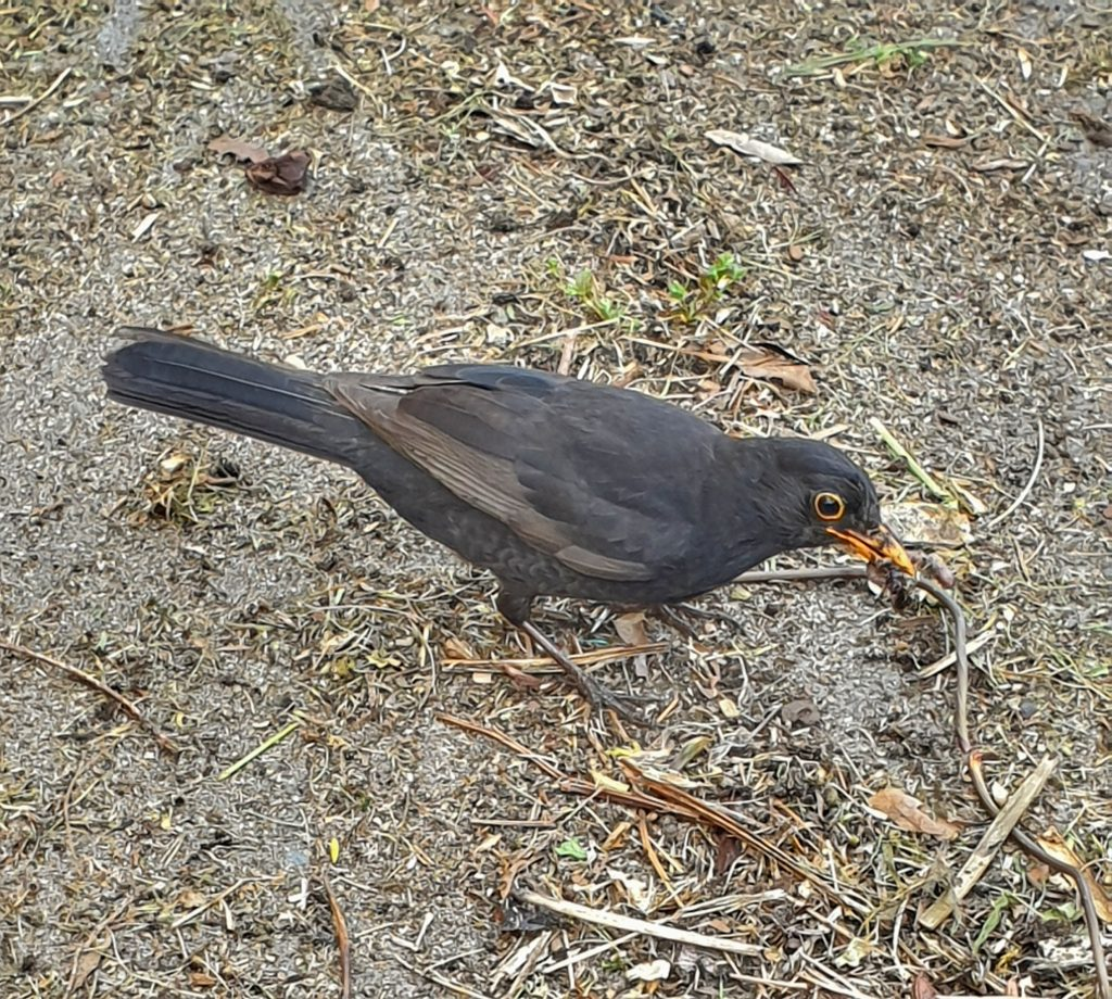 a blackbird pecking at the dusty ground it has bugs in its beak
